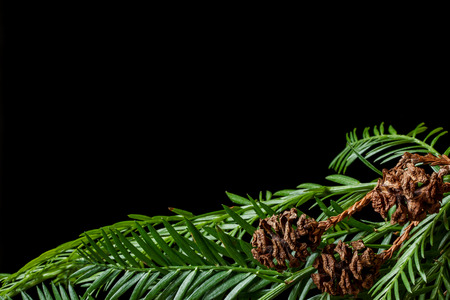 Coastal redwood (Sequoia sempervirens) needles and cones against a black background
