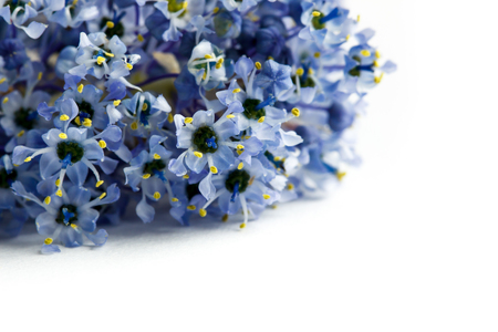 Closeup of blue ceanothus flowers isolated on a white background. Common names include California lilac, wild lilac, and soap bush.