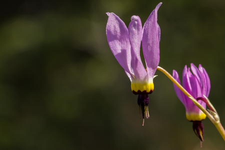 Closeup of the nodding pink, yellow, and black shooting star (Dodecatheon) wildflowers on a blurred background. Common names include American cowslip, mosquito bills, mad violets and sailor caps.