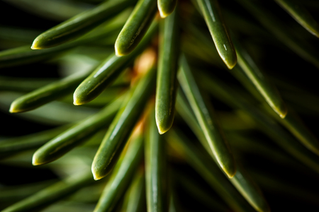 Abstract closeup of Sitka spruce (Picea sitchensis) needles. Stock Photo