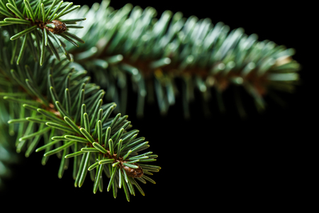Closeup of conifer Sitka spruce (Picea sitchensis) branches isolated on a black background.