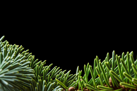 Closeup of conifer Sitka spruce (Picea sitchensis) needles isolated on a black background with copyspace. Reklamní fotografie