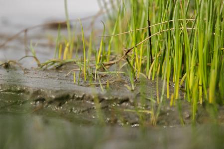 suelo arenoso: La convergencia del río y la tierra, con cañas que crecen en suelo arenoso