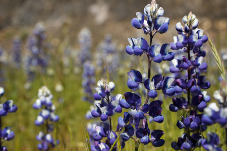 Background of a field of blue lupine (Lupinus) wildflowers. Stock Photo