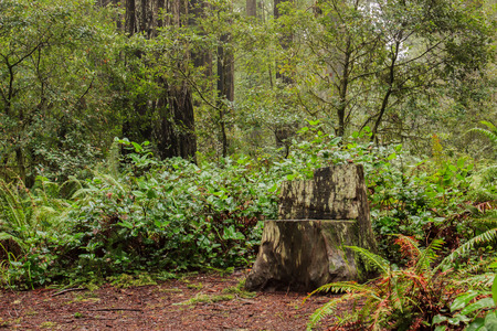 Chair carved from a tree stump in a coastal redwood (Sequoia sempervirens) forest 版權商用圖片