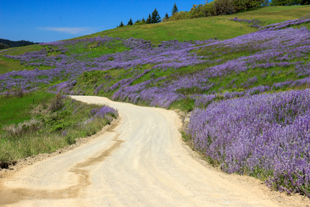 Scenic fields of purple lupine wildflowers lining a rural dirt road Stock Photo