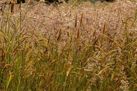Closeup of infloresences of grass flowers: Holcus lanatus (velvet grass, yorkshire fog, tufted, or meadow soft grass) and Anthoxanthum odoratum (sweet vernal grass, holy, or buffalo grass). Grasses are a common cause of allergies.