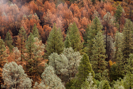 Aftermath of a California forest  wildfire that left a checkerboard of dead and live conifer trees in its path of destruction Stok Fotoğraf