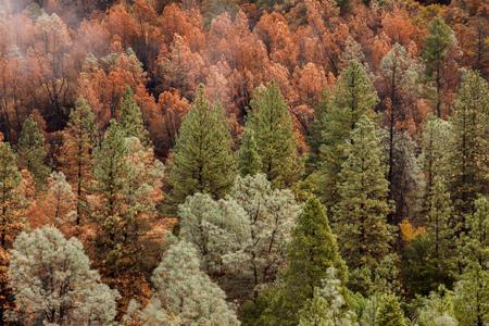 Nachwirkungen eines Waldbrandes in Kalifornien, der ein Schachbrett aus toten und lebenden Nadelbäumen auf seinem Weg der Zerstörung hinterließ