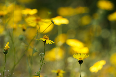 Bright yellow flowers of common madia (or tarweed) (Madia elegans), a wildflower, in spring, with copyspace