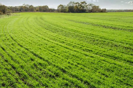 winter wheat: Young green sprouts of winter wheat in the field