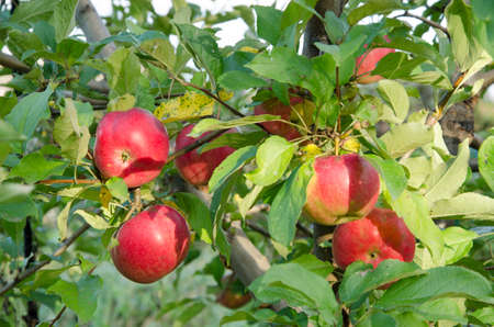 fresh apple: Red apples hang on a branch with green leaves Stock Photo