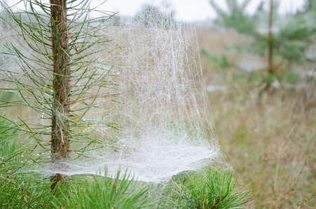 macrophoto: Dense cobwebs on the pine with green needles. Macrophoto Stock Photo