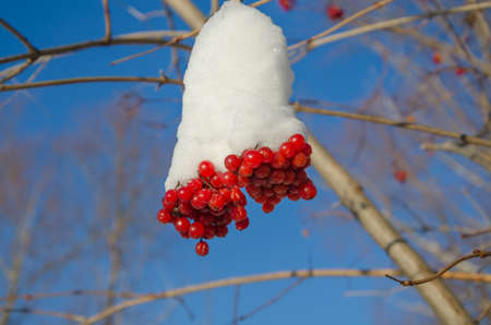 guelderrose: The ripe berries of a guelder-rose covered with snow.