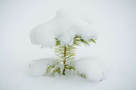 siberian pine: Sapling of a pine cedar Siberian covered with snow. Stock Photo