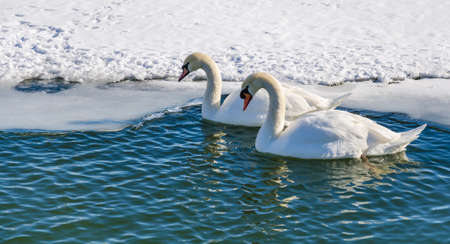 edge of the ice: Two mute swan (Cygnus Olor). A pair of mute swans swimming near the ice edge.