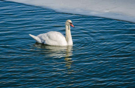 edge of the ice: A lone mute swan on the water. Swan floating on the water near the ice edge. Stock Photo