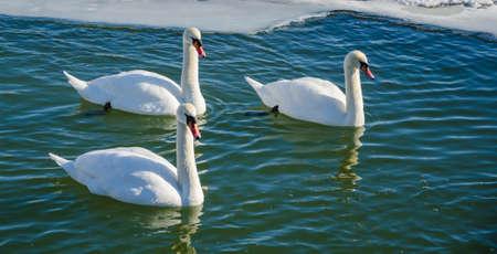 edge of the ice: Three mute swan (Cygnus Olor) swimming along the ice edge. Stock Photo