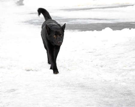 black bitch: Black dog. The black stray dog ??gracefully goes on snow. Stock Photo