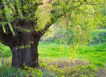 salix: Salix fragilis. The old willow tree with a thick strong trunk. The gentle spring leaves lit with the setting sun. Stock Photo