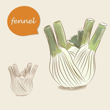 Fennel isolated on white background Vector