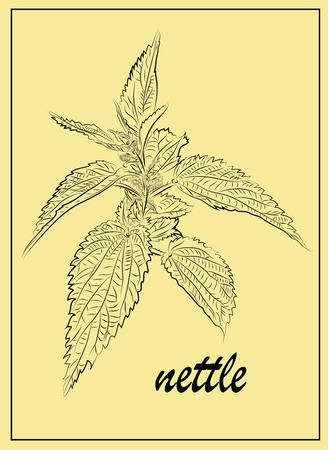 nettle: Graphical representation of herbs nettle