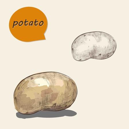 potato: potatos, vector illustration in vintage style. draw by Wacom