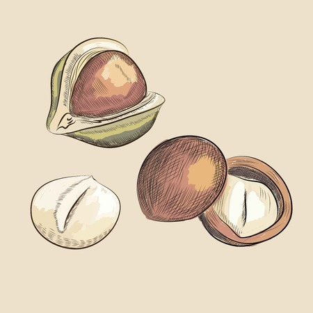 brazil nut: macadamia nuts. vector sketches. handmade. draw by Wacom