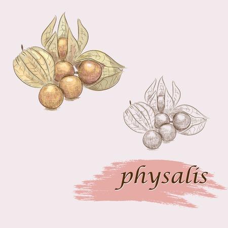 set of ripe physalis. vector sketches Vector