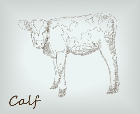 ruminant: calf. farm animals. sketches