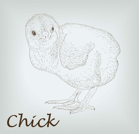 pet breeding: small chick. vector sketch on background