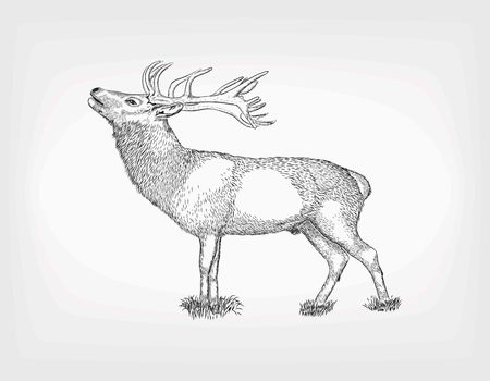 horny: Detailed hand drawn deer. Vector sketches