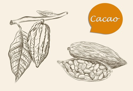 detailed image: Vector sketch of detailed image of cacao on  background