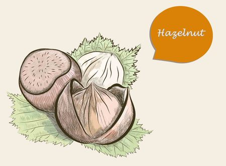 nutty: Detailed image of colorful sketch of hazelnut