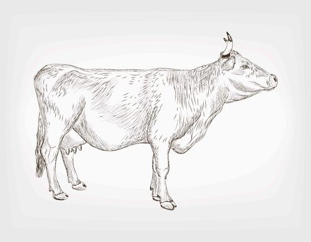 detailed vector sketch of cow on background