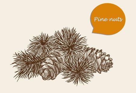 orzechów: vector szkic, orzeszkami pinii Ilustracja
