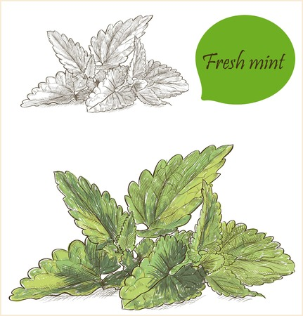 mint: Mint image - herbs and spices banner
