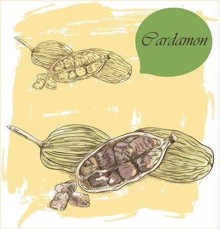 Spices: cardamom, vector illustration.