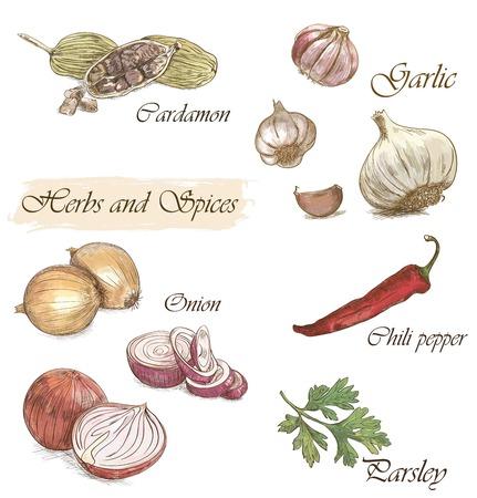 einige bunte Skizze von Kraut und Gewürze (Zwiebeln, Kardamom, Knoblauch, Chili und Petersilie) mit Inschrift Vektorgrafik