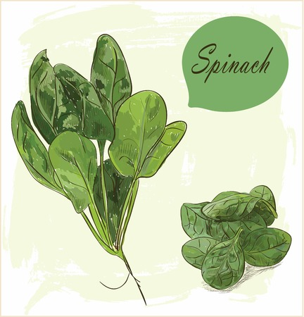 spinat: Spinach leaves set isolated on vintage background