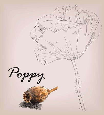 skecth: Poppy colour  seed and skecth head isolated on background
