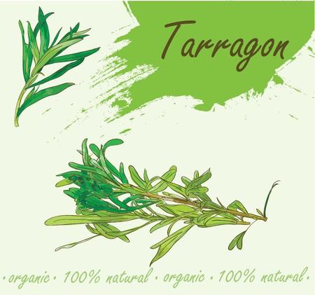 Vector illustration of tarragon