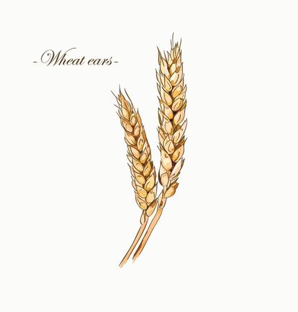 homemade bread: Hand drawn wheat sketch.