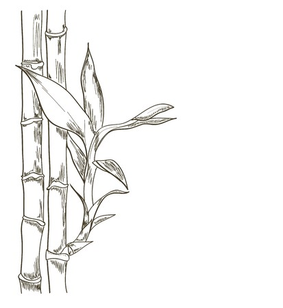 Bamboo vector sketch detailed on white background