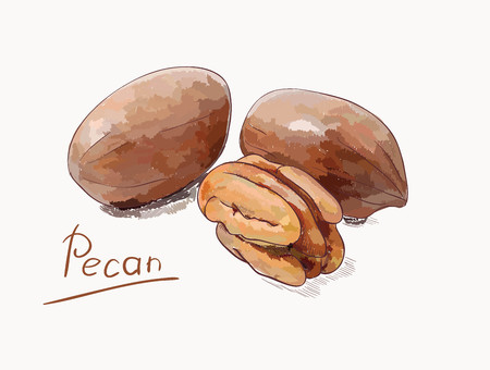 Pecan nuts, isolated on white background illustration.