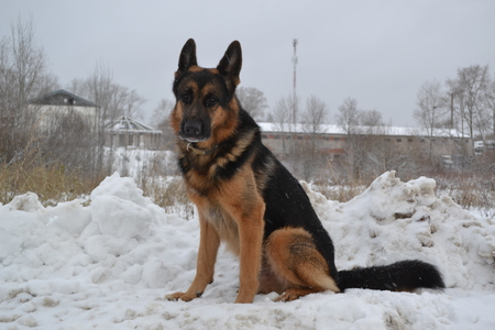 police dog: A big police dog guarding the important military facility Stock Photo