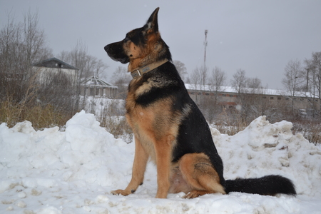 police dog: A big police dog, guarding the important military facility Stock Photo