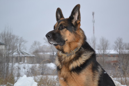 police dog: Big police dog looking into the distance on a winter day