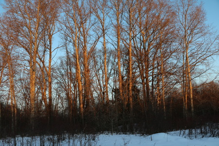 elites: Big trees in a Sunny winter evening