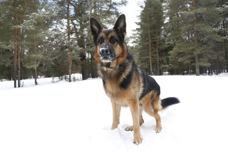 agression: Dog on snow in winter day